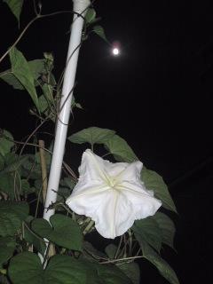 中秋の名月&夕顔